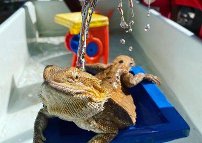 Washing the lizard